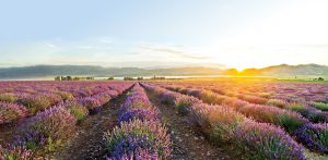 youngliving_lavenderfields_reducedsize